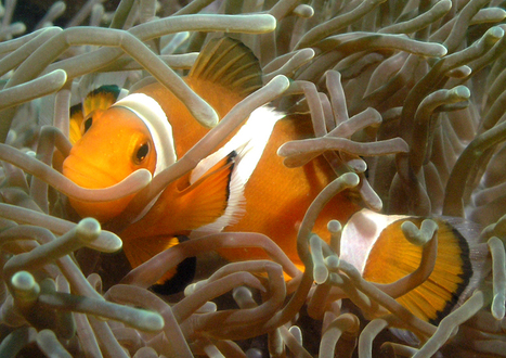 Diving Photos From Tioman Island, Malaysia - | Scuba Diving | Scoop.it