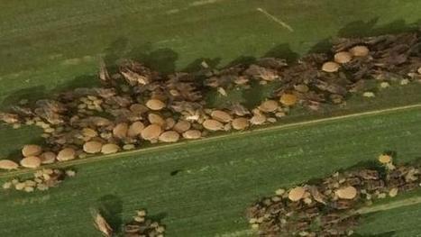 Pest alert: Heavy infestation of sugarcane aphid in Arizona, California sorghum | Western Farm Press | CALS in the News | Scoop.it