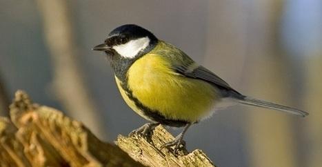 Los árboles envían señales de auxilio a las aves cuando los insectos les atacan - EcoDiario.es   Protección vegetal   Scoop.it