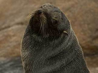 Climate change-linked food shortage ravaging Antarctic fur seals, says study | Climate change challenges | Scoop.it