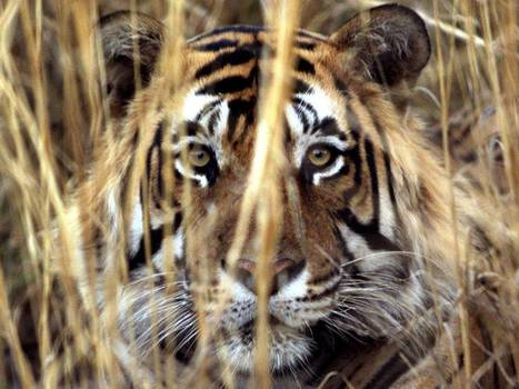 Tiger tourism is back and burning bright in Rajasthan   EnvironmentalNews   Scoop.it