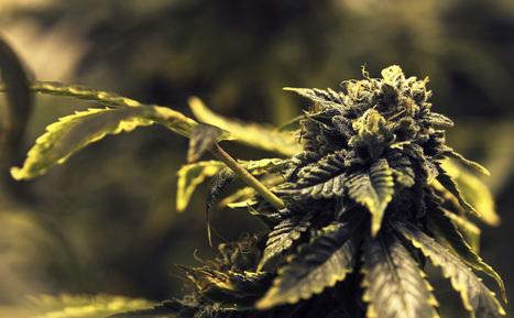 Please, Minnesotans: Marijuana is good medicine - Minneapolis Star Tribune | Cannabis Law Reform | Scoop.it