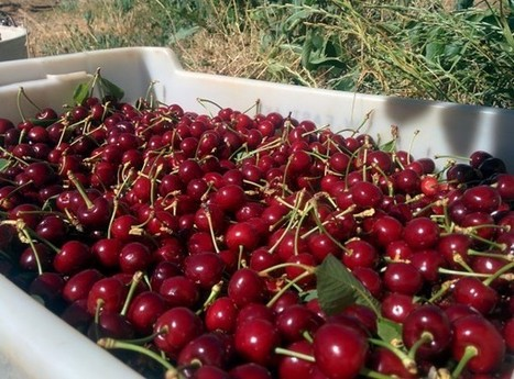 Young : capital de la cerise et du cherry-picking en Australie | Make My Trip Voyage | Scoop.it