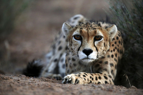 Iran multiplies fines for poachers to save Cheetah | Wildlife Trafficking: Who Does it? Allows it? | Scoop.it