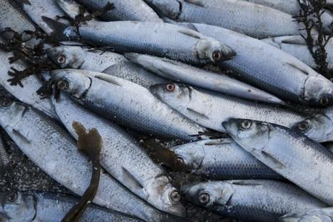 Des millions de harengs retrouvés morts dans un fjord d'Islande | Toxique, soyons vigilant ! | Scoop.it