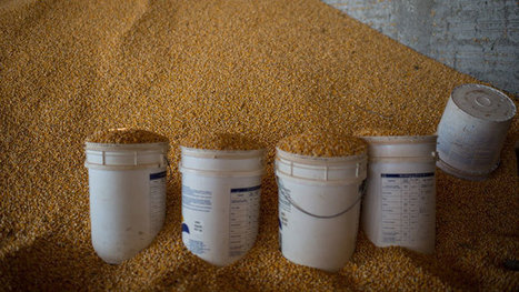China rejects fifth US corn cargo in a month, citing GMO strain | genetic modified food | Scoop.it