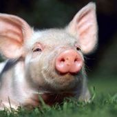 With 'gene-editing' scientists have produced a disease resistant piglet - MercoPress | Genome Engineer | Scoop.it