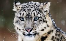 Le léopard des neiges menacé par le réchauffement climatique | The Blog's Revue by OlivierSC | Scoop.it