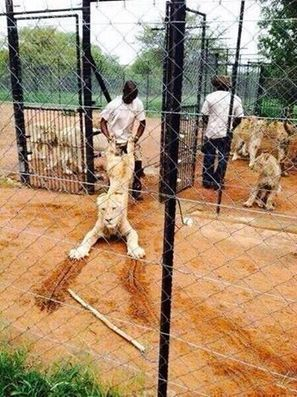 CANNED HUNTING: South Africa's SHAME | GarryRogers Biosphere News | Scoop.it