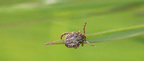 La tique peut transmettre jusqu'à 5 maladies en une morsure ! | Toxique, soyons vigilant ! | Scoop.it