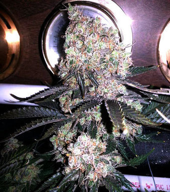 Control Humidity For Faster Growth & Better Yields | Grow Weed Easy | control humidity for faster growth &better yields | Scoop.it