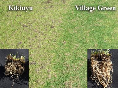 Green lawn turf Vs Others | Lawn Turf Suppliers | Scoop.it