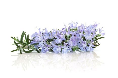 Rosemary – The Holy Herb and the Love Charm with Numerous Benefits for Overall Health | eCellulitis | All About Health & Beauty | Scoop.it