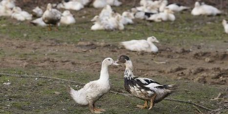 Un nouveau cas de grippe aviaire en Aveyron - Le Monde | Agriculture en Dordogne | Scoop.it