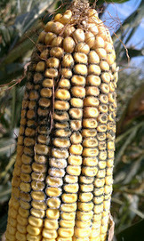 Aflatoxin in Corn - University of Delaware Kent County Agricultural ... | Food Policy News | Scoop.it