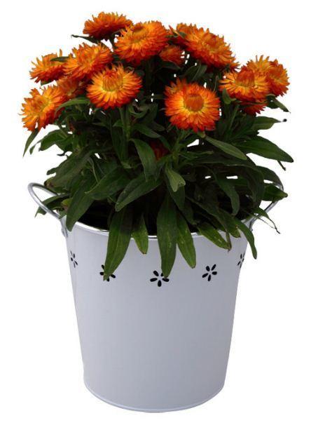 Orange and Yellow Bracteantha in White Flower Buck | Plants Online | Scoop.it