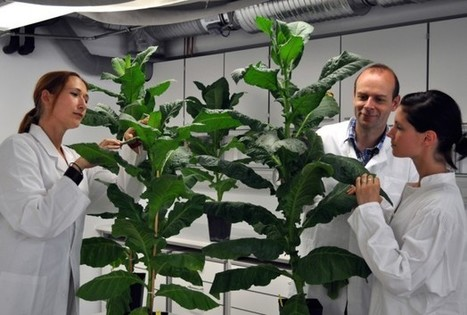 Tobacco Plants That Stay Young Forever - Science News - redOrbit | Erba Volant - Applied Plant Science | Scoop.it