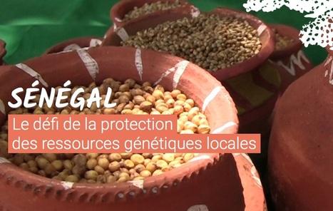 #Longformat: Sénégalproduire ses propres semences, une question de survie #Rfi | Journalisme web et innovations | Scoop.it