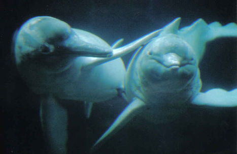 How do pink dolphins protect themselves? | Earth Island Institute Philippines | Scoop.it