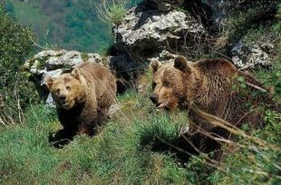 El oso pardo: un emblema en peligro de extinción   Medio ambiente   Scoop.it