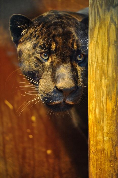 Faites connaissance avec Aramis, le jaguar noir - Francetv info | Zoos Fermes Parcs | Scoop.it