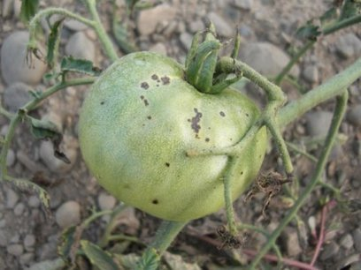 The 'Speck'-ter haunting New York tomato fields: Genes from wild tomato species may one day protect against devastating bacterial speck disease | Erba Volant - Applied Plant Science | Scoop.it