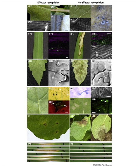 Trends in Plant Science (2014): Effector-triggered defence against apoplastic fungal pathogens | Fungal effectors | Scoop.it