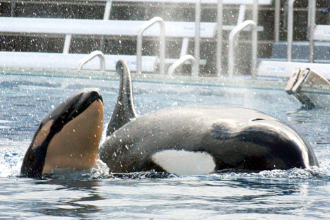 """SeaWorld Gets to Keep Their Killer Whales, For Now 