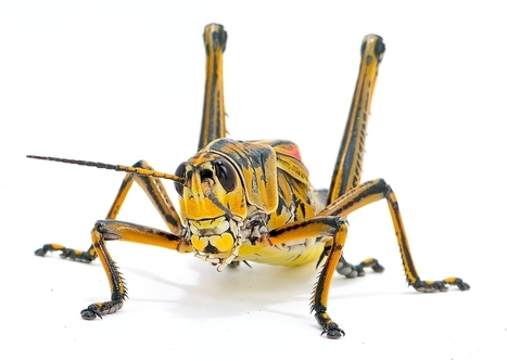 Insect Protein Source: One Grasshopper Salad Please - Edgy Labs   Insect protein   Scoop.it