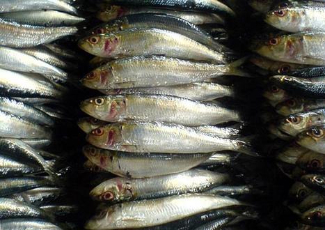 'Tamban' fishing ban to begin Saturday   Water Stewardship   Scoop.it