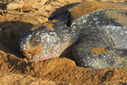Leatherback sea turtles suffer 78 percent decline at critical nesting sites in Pacific | Biodiversity IS Life -- Conservation,Ecosystems,Wildlife,Rivers,Water,Forests | Scoop.it