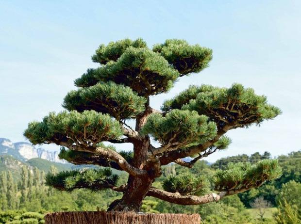 [Jardin] Comment tailler ses arbres en nuage?   La Revue de Technitoit   Scoop.it