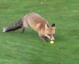 Golf : un renard voleur de balles - Yahoo! Sport | Golf | Scoop.it