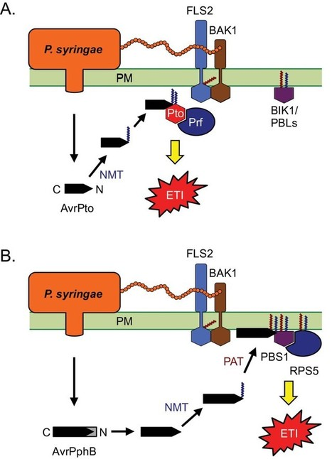 J. Exp. Bot.: Greasy tactics in the plant–pathogen molecular arms race (2015) | Effectors and Plant Immunity | Scoop.it