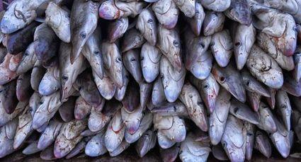 Un quart des requins et raies de la planète en ... | Protection des fonds marins | Scoop.it
