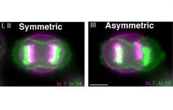 Bearing witness to the phenomenon of symmetric cell division | Microscopes and Microscopy | Scoop.it