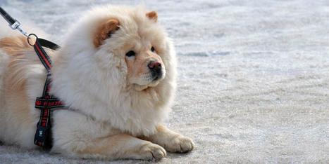 Chow-Chow: un cane indipendente, distaccato, altero e dalla sicurezza leonina.   best5.it   Vari   Scoop.it