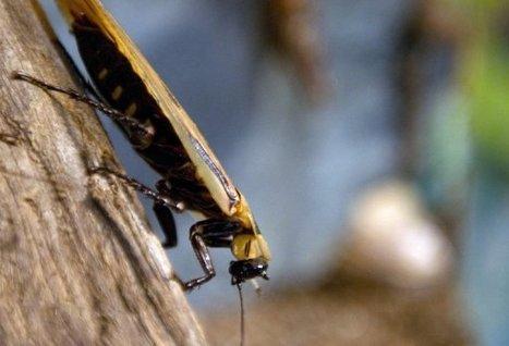 L'aversion des cafards au sucre : un exemple d'évolution rapide pour survivre | EntomoNews | Scoop.it