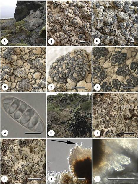 Journey from the West: Did tropical Graphidaceae (lichenized Ascomycota: Ostropales) evolve from a saxicolous ancestor along the American Pacific coast? | Lichen systematics | Scoop.it