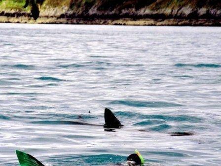 Requins-pèlerins.  Opération-comptage en Bretagne | Requins | Scoop.it