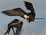 Frigate birds : never touching down - CNRS Web site - CNRS | CLOVER ENTERPRISES ''THE ENTERTAINMENT OF CHOICE'' | Scoop.it