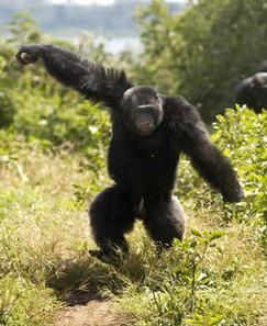 Social Organization   Chimp Behaviour   About Chimpanzees   Chimpanzees   the Jane Goodall Institute of Canada   e-nable social organization   Scoop.it