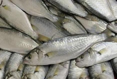 ¡El prehispánico charal blanco se encuentra ahora en peligro de extinción! | Agua | Scoop.it
