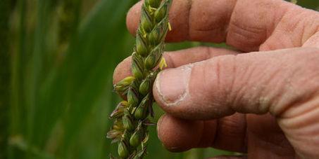 Les variétés paysannes de blé en voie de disparition | Questions de développement ... | Scoop.it