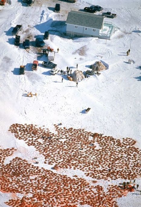 Blood stains in the snow as half a million seals face death in annual cull | GarryRogers NatCon News | Scoop.it