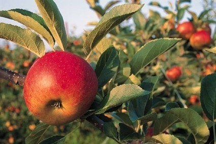 Autumn is in the Air: Now is a Great Time to Enjoy Maryland Apples - Southern Maryland News, Charles County, Calvert County and St. Mary's County News | Annie Haven | Haven Brand | Scoop.it