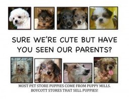 Puppy Mill Investigations How can you know that a puppy store is getting their from puppy mills? It's a fair assumption when a store has many puppies for sale and they receive stock on an ong... | Dogs | Scoop.it