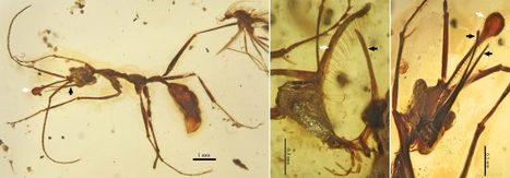 Une étrange fourmi-licorne de 99 millions d'années | EntomoNews | Scoop.it