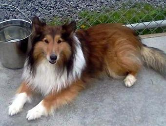 Jack the Sheltie spared by judge; headed to the country - Utica Observer Dispatch | Shetland Sheepdogs | Scoop.it