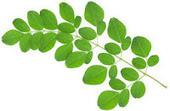 Manfaat daun kelor dan cara pengolahannya untuk obat | Aneka Resep | Cara Diet Sehat | Tanaman Obat | Scoop.it